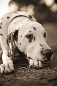 Beautiful Dalmatian !