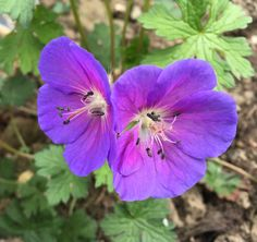 Geranium himalayense 'Graveteye'. My favourite hardy geranium. It is the first to flower in May; the petals glow ultraviolet, and close-up it is exqusite.