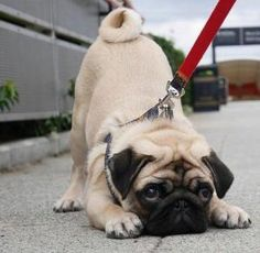 Scroll through these hilarious Pugs when you need a pick-me-up. Just try not to smile looking at these adorable dogs. Pug Photos, Pug Pictures, Cute Pug Puppies, Dogs And Puppies, Bulldog Puppies, Terrier Puppies, Boston Terrier, Cute Baby Animals, Funny Animals