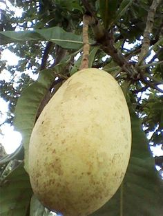 Buah Kemang or Binjai (Mangifera caesia), a tropical fruit from South East Asia