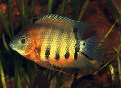 Pielęgnica severum - ryba akwariowa