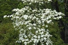 Dogwood - CORNUS EDDIES WHITE WONDER