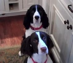 Excited English Springers' adorable routine before meals (VIDEO) » DogHeirs   Where Dogs Are Family « Keywords: meal, dinnertime, spin, eat..........could of done without him singing...lol...but...cute