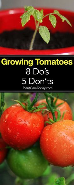 Grow Organic Tomatoes Tomato Growing – 8 Do's and 5 Don'ts - Overtime we all learn tips and tricks which help us grow our vegetables. Here are some do's and don'ts about tomato plant care. Tips For Growing Tomatoes, Growing Tomato Plants, Growing Tomatoes In Containers, Growing Veggies, Grow Tomatoes, Growing Tomatoes Indoors, Hydroponic Gardening, Hydroponics, Organic Gardening