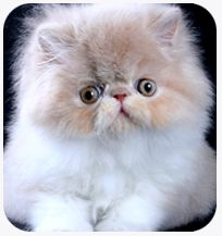 The Persian Cat—The Persian cat is probably the most popular of all cat breeds. Purebred Persians are common all over the world as pets, and are prominent . . . http://blog.21stcenturypet.com/2013/02/the-persian-cat/#  #persiancat #21stcenturypet
