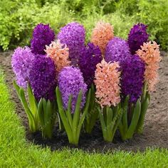 100pcs/bag hyacinth seeds bonsai Flower Seeds (not hyacinth bulb) Hydroponic flower So Fragrant Forever Missing outdoor plant