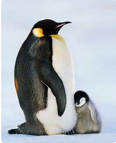 """tales of flightless coastal birds..."" Pinguin Drawing, Pinguin Tattoo, Penguin Love, Cute Penguins, Penguin Baby, King Penguin, Penguin Craft, Penguin Pictures, Animal Pictures"