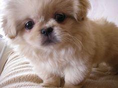 Pekingese!!