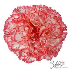 """Today, carnations are anything but that filler flower of the 70′s. They come in amazing natural colors ranging from green tea green to deep amethyst, violet, and pale lilac. The are long lasting and hold up well in hot weather. Best of all they look amazing when designed """"en masse"""" for a centerpiece or designed in the English-dome pave style for a bouquet. Get these beautiful Red, Pink and White carnations for your wedding. $129"""