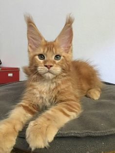 Maine Coon Kittens Southern California San Diego