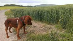 Alfie, our lovely Red Setter/Spaniel cross, very focused on one of his South Downs adventures.