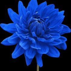 Blue+Beard+Dahlia+Annual+Flower+Seeds+DIY+Home+Garden+Indoor+Plants+Compositae+#Unbranded