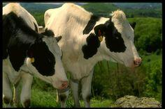 ففى فصل الصيف يحدث فى كثير من المزارع ارتفاع فى درجة حرارة الماء مما يقلل من اقبال الحيوان على شرب الماء والذى ينعكس على الانتاجية حيث …