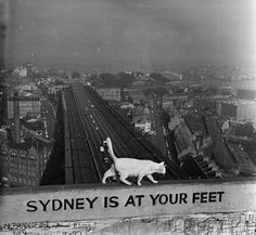 """George, a white cat who lives at the top of one of the pylon supports of the Sydney Harbour Bridge, keeps a watchful eye on the city below. 1957 """