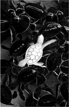 30 Rarely Seen Albino Animals From Around The World…Amazing! - One day I will see an albino animal. An albino baby turtle swims with green sea turtle babies in a pond at Khram island, near Pattaya, Thailand. Amazing Animals, Animals Beautiful, Stunningly Beautiful, Absolutely Stunning, Beautiful Creatures, Animals And Pets, Funny Animals, Animal Memes, Wild Animals