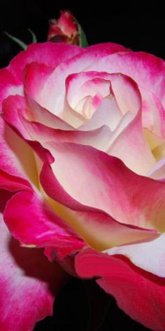 Lovely Pink Tipped Rose