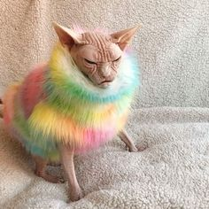 Loki the grumpy cat is the new ruler of the internet when it comes to cute and angry cats. Grumpy cat move over, there's a new ruler in town and he won't Animals And Pets, Baby Animals, Funny Animals, Cute Animals, Funniest Animals, Baby Giraffes, Animal Fun, Wild Animals, Chat Sphynx
