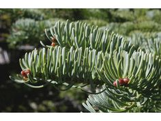 Abies balsamea (Balsam fir) #43988