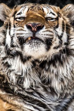 Tiger - By: (Norman Powell)