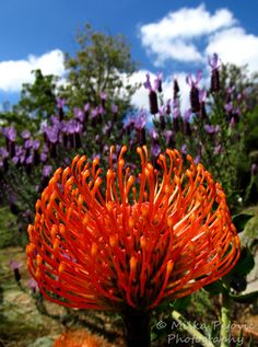 In bloom on the mountainside in yellow and orange.... summer is on the way.....Beautiful protea pin cushion flower