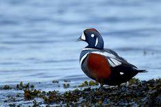 Harliquin Duck by Myer Bornstein, via 500px