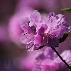 #flowers #flower #beautiful #pretty #plants #blossom #spring #flowerstagram #flowersofinstagram  #flowerslovers #botanical #floral #azalea #instablooms #floweroftheday  #ig_flowers #superb_flowers #insta_pick_blossoms #bns_flowers #ip_blossoms #myheartinshots #lovely_flowergarden #bns_flowers