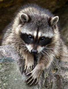 Young Racoon by Jerry Cahill