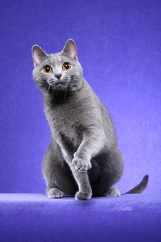 """Chartreux cats are large and muscular with short fine boned limbs, big paws and very fast reflexes. These cats are known for their blue (grey) double-thickness fur coats and gold- or copper-colored eyes. The Chartreux cats is also known for their """"smile""""; due to the structure of their heads and long, tapered muzzle, they often appear to be smiling."""