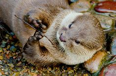 Otter has a twig - January 2, 2015 - More here: http://dailyotter.org/2015/01/02/otter-has-a-twig/ !