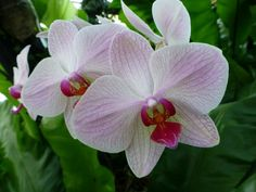 Entretien d'une orchidée (Phalaenopsis) : Ce que vous devez savoir !