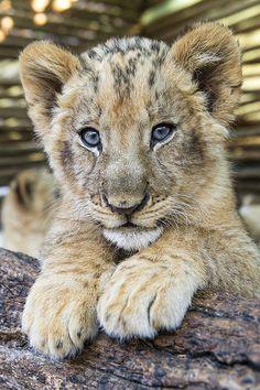Lion cub posing on the log by Tambako the Jaguar