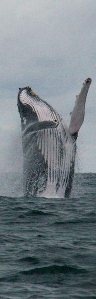 Humpback whale, Costa Rica