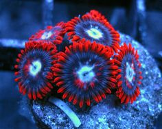 Fire and Ice Zoas http://FragJunky.com http://Facebook.com/FragJunkyCorals