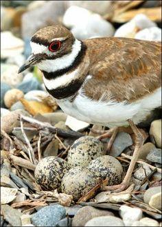 Birds And Animals: Killdeer(Charadrius vociferus). Kildeer will feign...