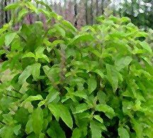 Thai Holy Basil, Green Leaf - This is one of the most popular herbs used in Thai cuisines. Plants grow vigorously in warm cliamtes. Pick young leaves and branches for cooking uses. Start seeding in spring/early summer for getting the best results.
