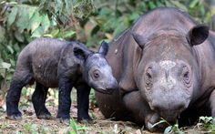Ratu, a highly endangered Sumatran rhinoceros, has given birth to a calf in western Indonesia. It is only the fifth known birth in captivity for the species in 123 years.  Picture: AP