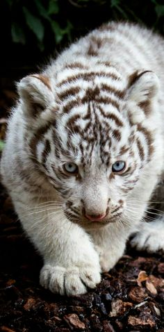 White tiger cub.. (by Jean-Claude Sch.)
