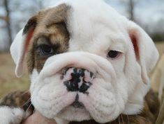 The major breeds of bulldogs are English bulldog, American bulldog, and French bulldog. The bulldog has a broad shoulder which matches with the head. The skin o English Bulldog Care, French Bulldog Blue, French Bulldogs, Bulldog Puppies For Sale, French Bulldog Puppies, Frenchie Puppies, Valley Bulldog, Wallpaper English, Dog Organization