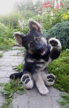 """Chiot berger allemand """"Rex"""" via Kaufmann& Puppy Training - Chiot berger allemand """"Rex"""" via Kaufmann& Puppy Training - # Super Cute Puppies, Cute Baby Dogs, Cute Dogs And Puppies, Doggies, Maltese Puppies, Puppies Tips, Lab Puppies, Chihuahua Dogs, Bulldog Puppies"""