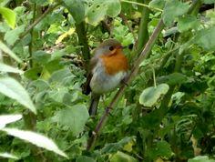 Nicht nur im Winter: Vögel richtig füttern und Artenvielfalt fördern. Einer der vielen Besucher: Dieser süße kleine Piepmatz, ein Rotkehlchen, den die Briten Robin nennen... Vögel füttern ist wichtiger, als viele denken...