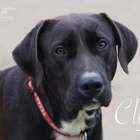 Pictures of Clyde a Labrador Retriever for adoption in Santa Fe, TX who needs a loving home.