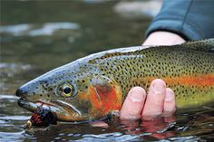 Rainbow trout--lots of trout fishing here in Oregon.
