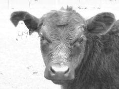 Buddy :) Black Angus Calf Spring 2011