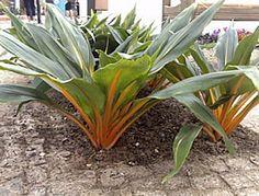 Lumina (Chlorophytum orchidastrum)