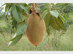 Баобаб – суперплодът на 21 век