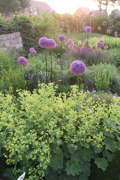 giant alliums and lady's mantle Ideal Gardens, Plants, Diy Garden Decor, Nature Garden, City Garden, Country Gardening, Driveway Landscaping, Cottage Garden, Colorful Garden