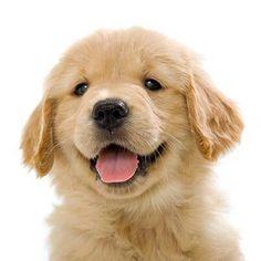 Happy 7 Week old Golden Retriever puppy on white background Retriever Puppy, Dogs Golden Retriever, Golden Retrievers, I Love Dogs, Puppy Love, Cute Puppies, Cute Dogs, Baby Animals, Cute Animals