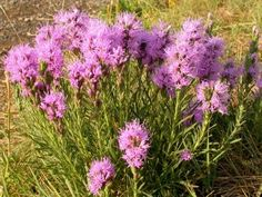There's probably nothing more versatile and easy to grow in the garden than liatris blazing star plants. Read this article to find tips and information on growing and caring for liatris plants. Plants, Planting Flowers, Dried Flower Arrangements, Flowers, Xeriscape, Lawn And Garden, Perennials, Plant Care, Liatris
