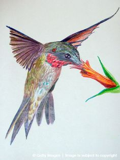 Image detail for -Lowcountry Hummingbirds & High Speed Photography