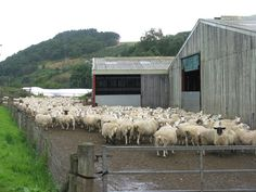 sheep farms in scotland - Google Search
